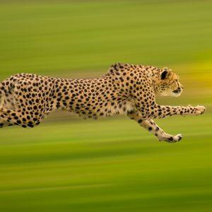 Cheetah sprinting